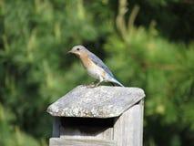 Żeński Bluebird na domu zdjęcie stock