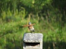 Żeński Bluebird na domu zdjęcia stock