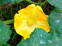 Żeński Dyniowy kwiat Obrazy Stock