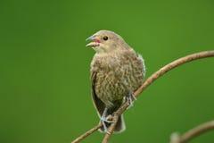Żeński Finch Zdjęcie Stock