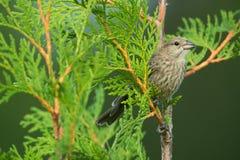 Żeński Finch Zdjęcie Royalty Free