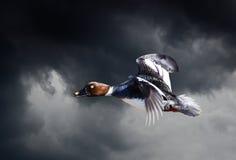 Żeński Goldeneye latanie Obrazy Royalty Free