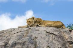 Żeński lwa dosypianie Obrazy Royalty Free