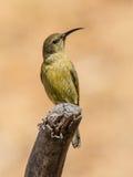 Żeński Malachitowy Sunbird Obrazy Stock