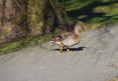Żeński mallard odprowadzenie w parku Obrazy Royalty Free