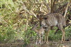 Żeński Nyala i swój dziecko w Kruger parku narodowym Zdjęcia Stock