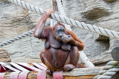 Żeński Orangutan Fotografia Stock
