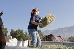 Żeński pracownik Karmi konie Fotografia Royalty Free
