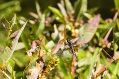 Żeński Wdowi Cedzakowy Dragonfly Zdjęcia Royalty Free