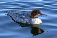 Żeńskiego goosander wodny ptak w profilu fotografia royalty free