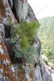 E sulle pietre gli alberi si sviluppano Fotografie Stock