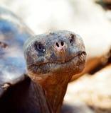 E.T. tartaruga dada forma de Galápagos Fotografia de Stock