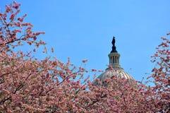 E.U. Capitol Hill na flor da cereja Imagem de Stock