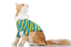 Side view of a dressed cat looking up Royalty Free Stock Photo