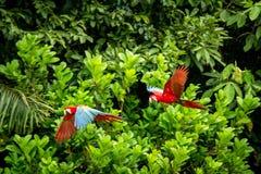 E Vuelo del Macaw, vegetación verde en fondo Macaw rojo y verde en bosque tropical fotos de archivo