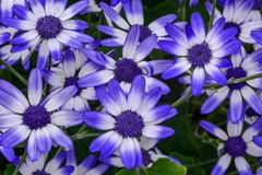 E and white flowers against a deep green. leafy background. Multiple images, deep blue stamen. petals with bluish ends fading to white stock image