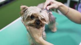 E Yorkshire Terrier in huisdier het verzorgen salon stock footage