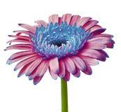 E Zakończenie Kwiatu pączek na zielonym trzonie Zdjęcie Royalty Free