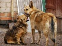 小孩子 两只本地狗在围场使用在有ea的房子附近 免版税库存照片