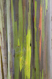 Rainbow Eucalyptus bark Royalty Free Stock Photo