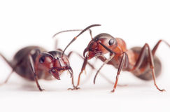 Each ant has very individual character Stock Photos