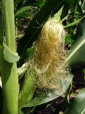Corn stalk with silky tassel golden hair silk attracts pollinators. Each ear has a cluster of hair-like stigmas called silks that extend from the kernels, out stock image