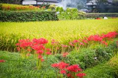 Rice Terraces Lined with Red Spider Lilies royalty free stock image