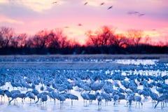 Sandhill Cranes on the Platte River at Sunset. Each spring over a half million sandhill cranes congregate on Nebraska's Platte River before flying as far royalty free stock photo