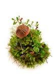 Eadiblepaddestoel crenberry in mos dat op wit wordt geïsoleerd royalty-vrije stock foto's