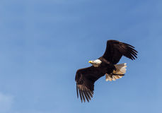 Eagel Images libres de droits