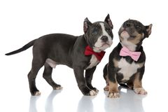 Eager American Bully puppies curiously looking. Upwards while one of the is standing and the other one is sitting on white studio background, wearing pink and royalty free stock photo