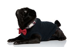 Eager black pup curiously looking upwards. While wearing a red bowtie and a blue sweater, lying down on white studio background royalty free stock image