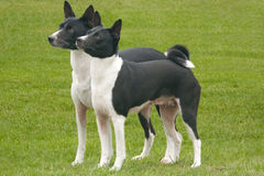 Eager black and white Basenjis. Two black & white Basenjis looking expectantly at something off camera Stock Photos