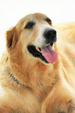 Eager Dog. An isolated photo of a retriever dog looking eagerly at its handler with anticipation Royalty Free Stock Photos