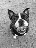 Eager and Excited Boston Terrier. A Boston Terrier dog shows excitement looking up Stock Image