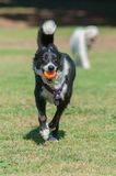 Eager and excited. Smiling Border Collie retrieving ball at park Royalty Free Stock Photography