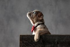 Eager little american bully puppy wearing bowtie looks up. Eager little american bully puppy wearing bowtie is looking up while sitting in a wooden box on grey royalty free stock images