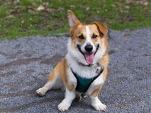 Eager looking adult tan and white male Welsh Corgi sitting in alley looking up. With one ear drooping and one erect royalty free stock images