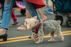 Eager parade dog in costume on July 4th. Patriotic Terrier mixed breed dog walking on street parade with stars and stripes bandana around neck Stock Photography