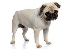 Free Eager Pug Puppy Curiously Looking Down While Standing Royalty Free Stock Photo - 196937755