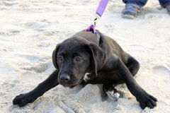 Eager Puppy. A young black labrador retriever puppy pulling against the leash on a beach walk Stock Photos