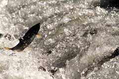 Eager Salmon Attempting to Jump Ladder. A salmon returning from sea to spawn in Alaska attempts to jump the ladder into the river Stock Image