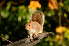 Eager squirrel. Common grey squirrel on stone park structure hoping for food Royalty Free Stock Photos