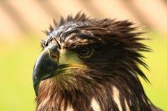 Eagle 1. An Eagle after the rain Stock Photos