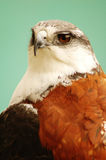 Eagle #1. Portrait of an eagle Royalty Free Stock Photography