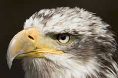 Eagle 1. Attacks, bald, beak, bird, breeder, breeding, buzzards, carnivore, claws, condor, eagle, eaglets, eater, emblem, eyes, falconry, feathers, fly, harrier Royalty Free Stock Photography