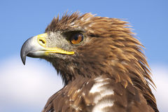Eagle. Portrait on the Alb in Germany Royalty Free Stock Photo