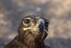 4 eagle Στοκ Φωτογραφίες