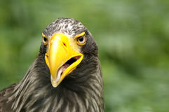Eagle. Portrait of Steller's Sea Eagle (Haliaeetus pelagicus royalty free stock photo