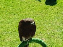 5 eagle Стоковые Изображения RF